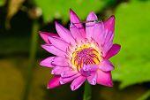 A Blooming Fuchsia Lotus
