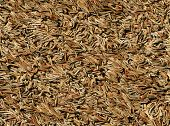 Brown dry pine needles background