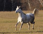 Arabian Mare In Forest