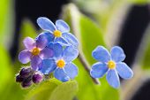 foto of forget me not  - Cute Flower Forget me not, close up