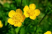 Summer Flower, Buttercup, Spearwort