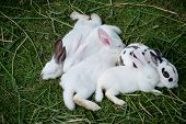 stock photo of wild-rabbit  - Cute baby rabbits are sleeping in farm - JPG