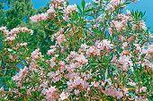 Pink Oleanders