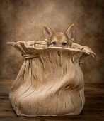 Adorable begging German Shepherd puppy of nine weeks old sitting in a vintage jute bag