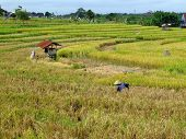Farmer In Ricefield