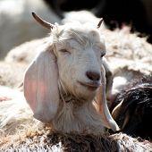 White Kashmir (pashmina) Goat From Indian Farm