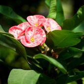 Beautiful Pink Euphorbia Or Crown Of Thorns Flower