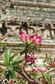 pic of desert-rose  - Pink Adenium tropical flower named desert rose at Wat Arun or Temple of Dawn - JPG