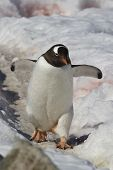 Gentoo Penguin Walking On A Trail 1
