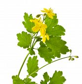 foto of celandine  - beautiful  celandine flowers on a white background - JPG