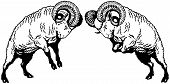 stock photo of ram  - two fighting rams sheep - JPG