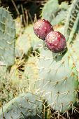 Cactus With Figs At The Provence