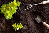 image of rich soil  - Transplanting yellow celosia flowers or amaranth in the garden with a tray of seedlings standing on rich brown fertile soil with a small garden trowel and rake during spring overhead view - JPG