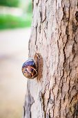 image of escargot  - Burgundi snail or Escargot Helix pomatia on tree macro photo - JPG