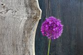 stock photo of elm  - Allium ornamental onion violet showy flower head old Elm wooden plank drk background
