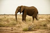 elephant  in sparse landscape