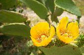 Prickling Pear Cactus