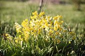 Primula Veris (cowslip, Common Cowslip) In Garden