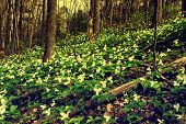 Trillium Bed Growing On A Forested Hillside.  - Retro