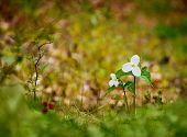 Two White Trilliums - Selective Focus