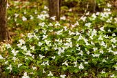 picture of trillium  - Trillium bed Blooming on the Forest Floor - JPG