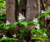 Spattering Of White Trilliums With Tree Base