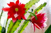 Red Blooming Cactus