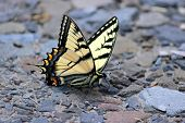picture of tigers  - Eastern Tiger Swallowtail butterfly landing on a stone driveway - JPG