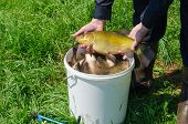 Tench Fish On Male Hand Over Bucket Full Of Fish