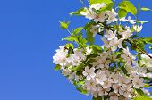 Beautiful White Flowers Of Apple Tree Against Blue Sky