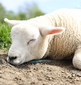 Sleeping Lamb