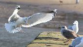 Seagull flying - Landing on dock side