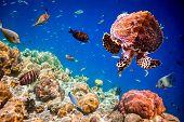 Turtle - Eretmochelys imbricata floats under water. Maldives Indian Ocean.