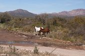 Two Wild Horses In Sonora Desert
