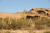 Hillside Of Organ-pipe Cactus