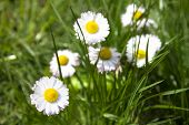 White Marguerite Flowers In Green Grass
