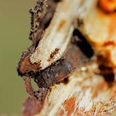 Ginger Ant