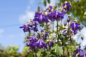 Blue Aquilegia Flowers Closeup