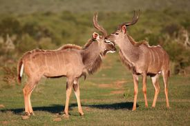 stock photo of antelope horn  - Two male kudu antelope with horns with long horns geeting each other - JPG