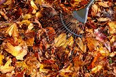 Raking up leaves.