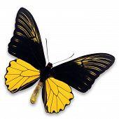 Common Birdwing Butterfly