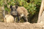 stock photo of wild hog  - one wild boar standing in a clearing  - JPG