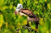 Juvenile Frigate Bird