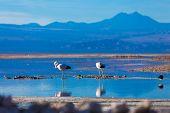 Atacama Salar in Chile with Flamingos
