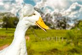 Cute White Duck on the nature