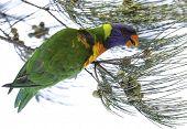 Australian rainbow lorikeets