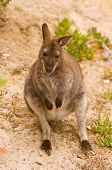 image of wallabies  - Bennett