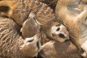 Meercat Family