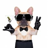 stock photo of french toast  - french bulldog with peace or victory fingers holding a martini ready to toast isolated on white background - JPG
