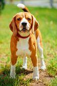 Beagle On Meadow - Pedigree Dog